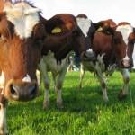 Возникновение и развитие животноводства