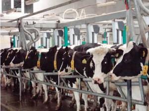 Строение клетки крупного рогатого скота