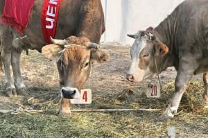 Методы разведения крупного рогатого скота