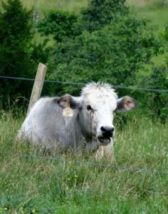 Отбор и подбор в скотоводстве