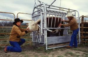 Способы и техника осеменения коров