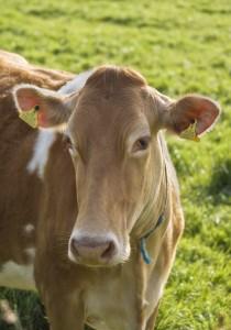 Продукты убоя скота