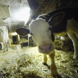 Оценка мясных качеств скота