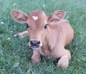 Кормление стельных сухостойных коров