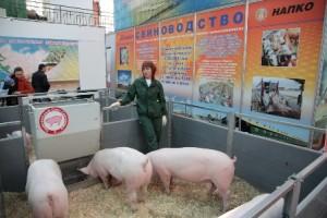 Техника и организация откорма свиней