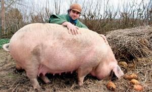 Групповое содержание свиней