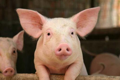 Инвесторы вложили в свиноводческую отрасль Липецкой области почти 8 млрд. рублей
