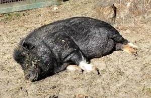 Племенная работа в свиноводстве