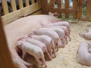 Лагери для свиней