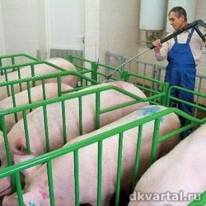 Процесс породообразования свиней