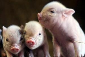 Оценка свиней по экстерьеру