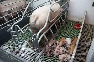 Общие основы отбора свиней