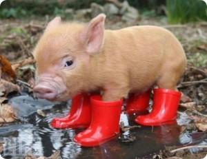 Интерьер свиней
