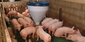 Поглотительное скрещивание свиней