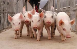 Значение пастбищного содержания свиней