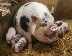 Зоотехнический учет в свиноводстве