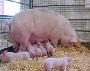 Метод контрольного откорма свиней