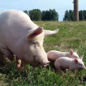 Методы оценки наследственных качеств хряков и маток по потомству