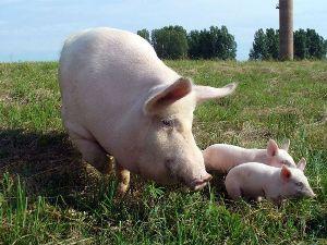 Вводное скрещивание свиней