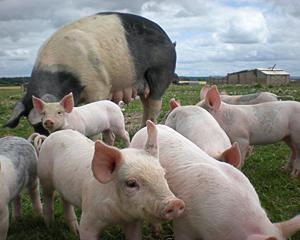 Воспроизводительное скрещивание свиней
