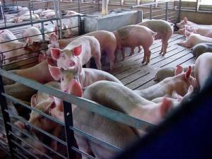 Подбор свиней по отдельным признакам