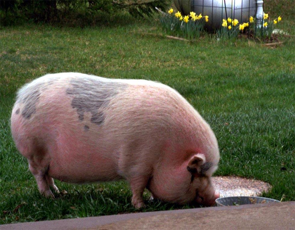 Гормоны и анаболики для свиней дека суст и винстрол