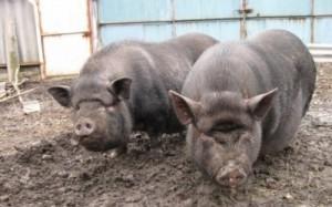 Способы и техника случки свиней
