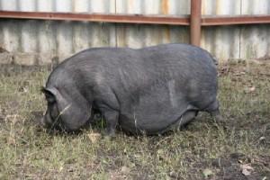 Составление случного плана свиней