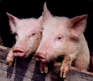 Туровые опоросы свиней