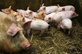 Уплотненные опоросы свиней