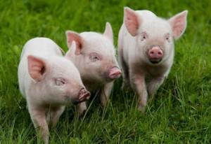 Сезонные опоросы свиней