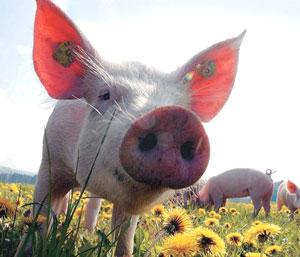 Половая зрелость свиней
