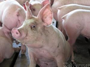 Факторы, влияющие на успех откорма свиней
