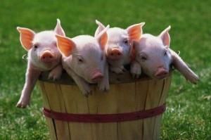 Течка и продолжительность супоросности у свиней