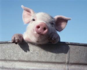 Типы и размеры свиноводческих хозяйств