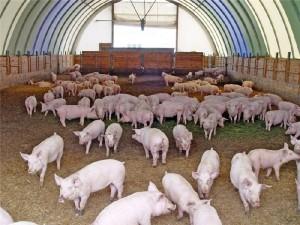 Племенная работа в свиноводческих хозяйствах