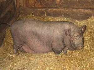 Основные виды откорма свиней