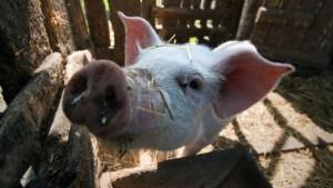 Беконный откорм свиней