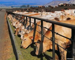 Мероприятия по развитию мясного скотоводства