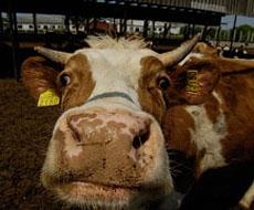 Истоки мясного скотоводства
