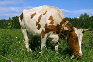 Формирование мясной продуктивности крупного рогатого скота