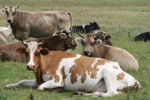 Формы племенной работы на фермах