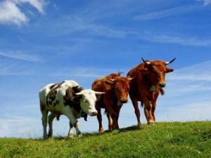 Системы оценки скота и туш