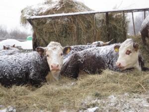 Вкусовая и биологическая ценность говядины