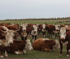 Система отбора и выращивания коров и быков