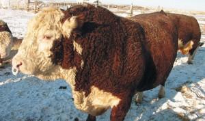 Сроки реализации скота на мясо