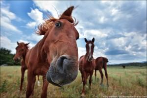 Мясное коневодство