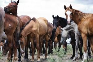 Алтайская порода лошадей