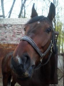 Вводное скрещивание лошадей
