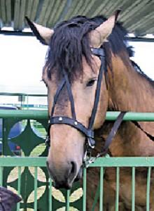 Мясная продуктивность лошадей